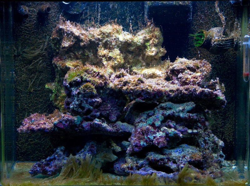 aquarium algues brunes images